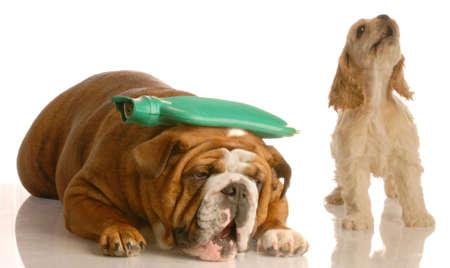 warm water: Engels bulldog met warm water fles op hoofd met cocker spaniel staande naast haar gehuil - begrip argument of hoofdpijn