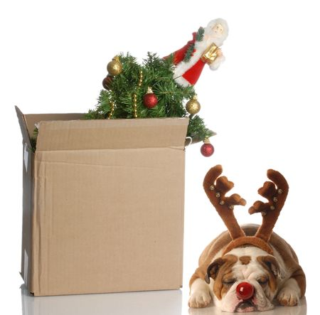 christmas tree packed up in box with dog dressed up as rudolph sleeping beside it