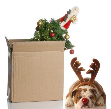 over packed: �rbol de Navidad embalado en caja con perro disfrazado de Rudolph dormir junto a �l