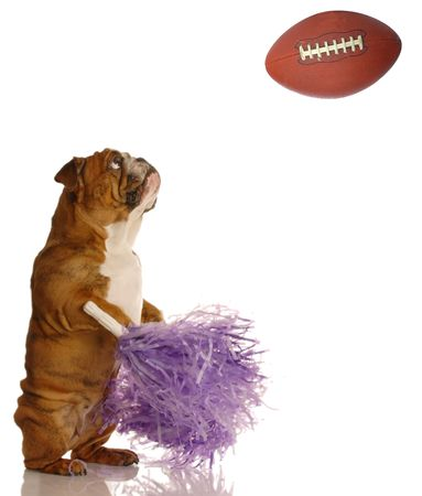 english bulldog with pompoms cheering on football game photo