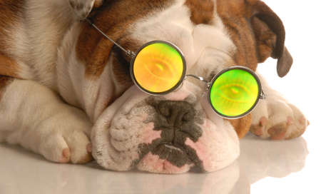 funny glasses: english bulldog wearing glasses with funny people eye glasses