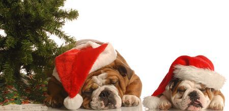 two english bulldogs wearing santa hats under christmas tree photo