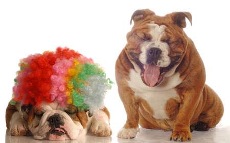 english bulldog laughing at another bulldog wearing silly clown wig