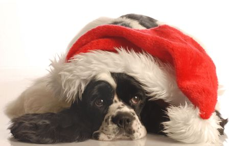american cocker spaniel wearing santa hat isolated on white background photo