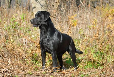 perro labrador: Labrador Retriever negro en el bosque en la estaci�n de oto�o