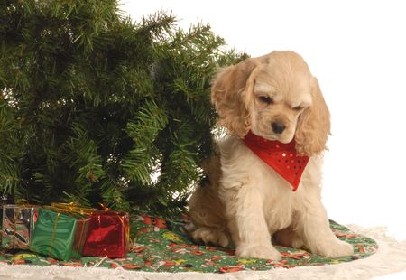 american cocker spaniel puppy under christmas tree photo