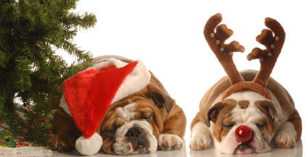 christmas costume: bulldog santa and bulldog rudolph under christmas tree
