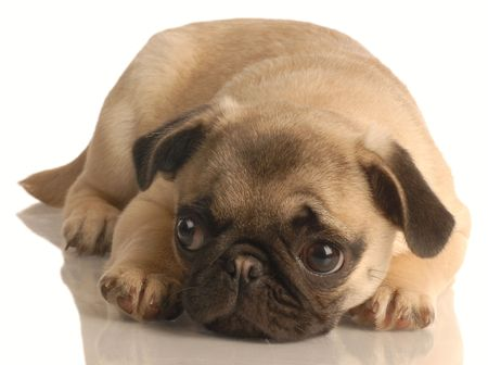pug puppy lying down isolated on white background photo