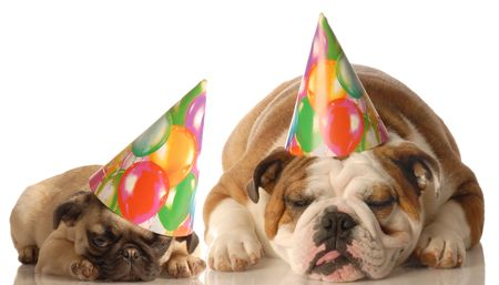 pug puppy: english bulldog and pug puppy wearing birthday hat isolated on white background Stock Photo