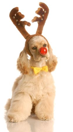 american cocker spaniel dressed up as rudolph the red nosed reindeer
