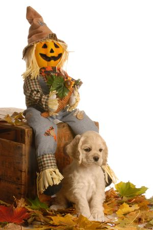 american cocker spaniel puppy in autumn scene - 7 weeks old Stock Photo