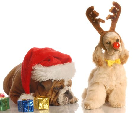 humbug: bulldog with santa hat and american cocker spaniel dressed as rudolph Stock Photo