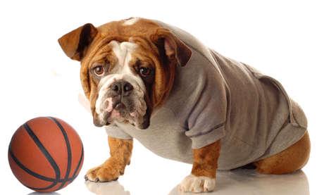 sweatsuit: english bulldog wearing sweatsuit with basketball isolated on white background