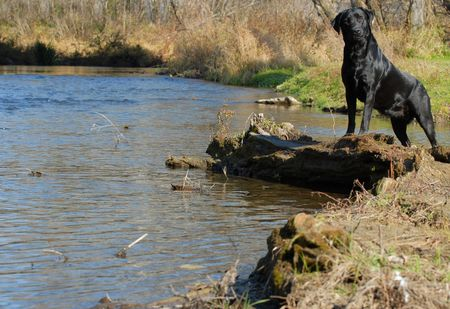 black labrador retriever standing by the shore line or water Stock Photo