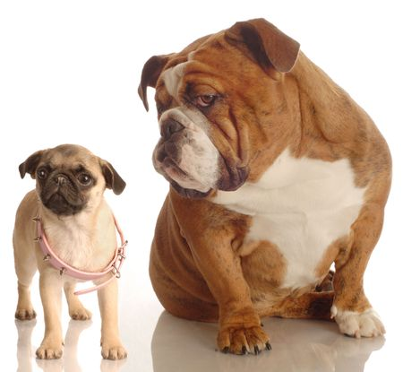 english bulldog annoyed with pug puppy that is wearing collar that is too big photo