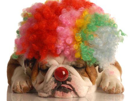 conformation: Ingl�s bulldog colorido payaso con peluca y nariz roja aisladas sobre fondo blanco
