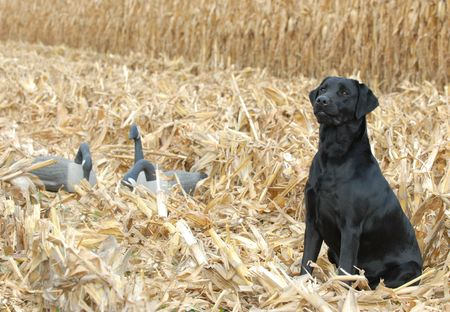 black bitch: black labrador retriever in corn field with geese Stock Photo