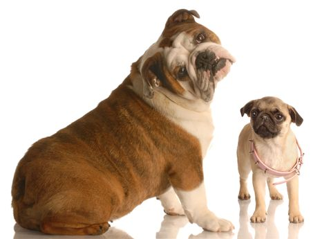 unsatisfied: english bulldog with cute expression beside  pug puppy that is wearing collar that is too big Stock Photo