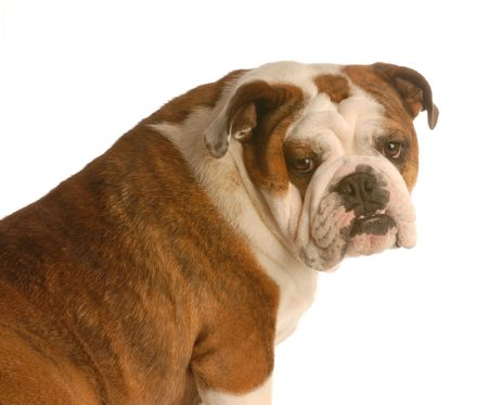 brindle: red brindle english bulldog sitting looking at camera isolated on white background