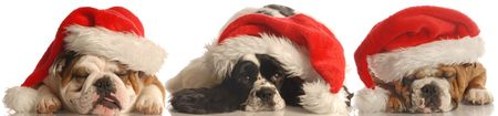 two bulldogs and a cocker spaniel wearing red santa hat isolated on white background