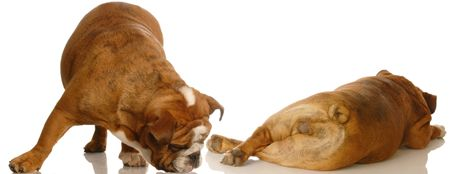 huh: english bulldog sniffing at another dogs backside isolated on white background Stock Photo