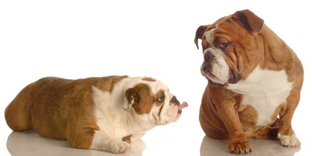 huh: english bulldog sticking her tongue out at another bulldog that is giving attitude Stock Photo