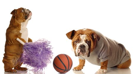 english bulldog cheerleader and basketball star isolated on white background photo