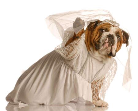 english bulldog puppy: adorable english bulldog dressed up as a bride isolated on white background Stock Photo