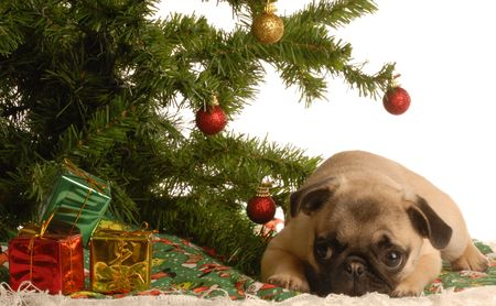 cute fawn pug puppy laying down under christmas tree photo
