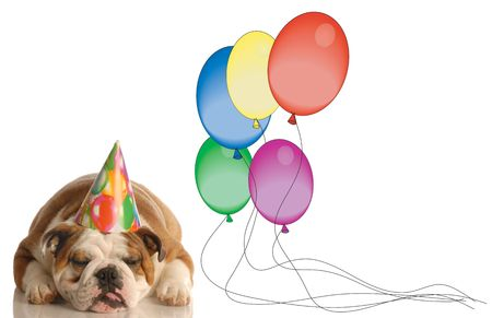 english bulldog with birthday hat and partially deflated balloons - not such a great birthday photo