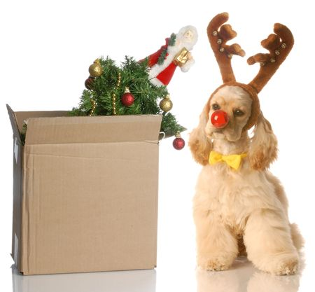 american cocker spaniel dressed up as rudolph sitting beside christmas tree that is packed up in a box photo