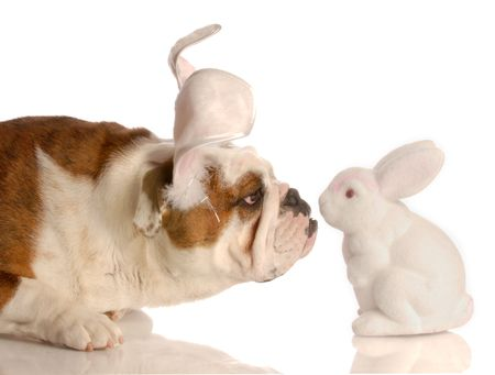 curious bulldog with easter bunny ears getting close to easter bunny  photo