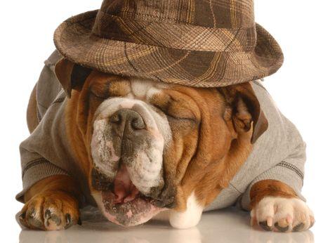 conformation: english bulldog wearing plaid fedora isolated on white background