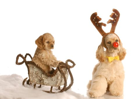 cocker spaniel puppy in sleigh with dog dressed up as rudolph beside it  Stock Photo