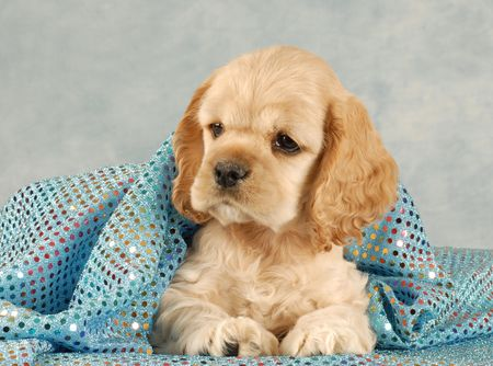 grooming: adorable american cocker spaniel puppy under blue blanket - eight weeks old  Stock Photo