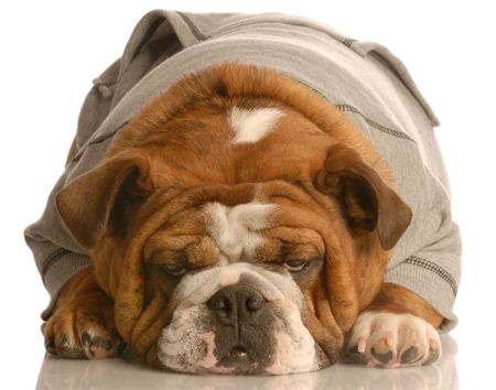sweatsuit: english bulldog laying down with cute expression dressed in grey sweatsuit isolated on white background