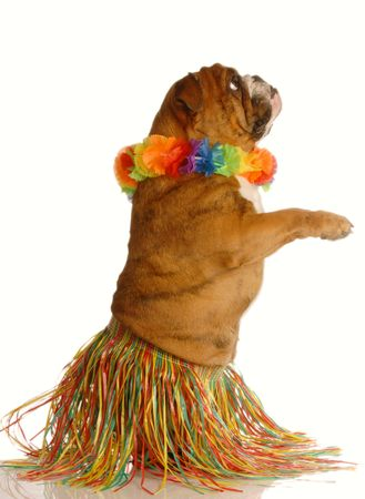 english bulldog dressed as a hula dancer isolated on white background photo