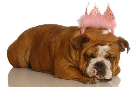 english bulldog wearing pink tiara - spoiled dog Stock Photo - 3949842