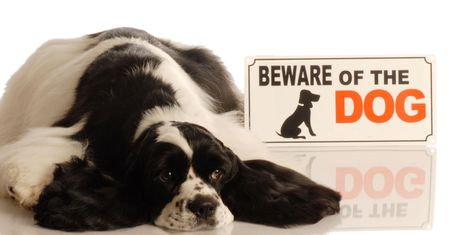 cute american cocker spaniel with beware of dog sign Stock Photo - 3949822