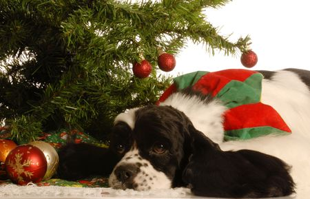 american cocker spaniel under christmas tree isolated on white background photo