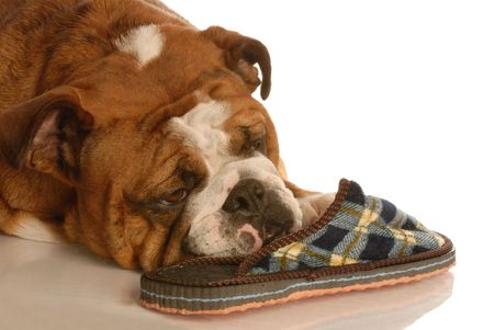 bloodlines: english bulldog resting with a favorite pair of slippers