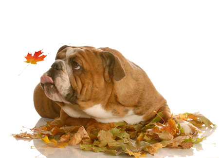 fall leaves on white: english bulldog trying to catch autumn leaves isolated on white background