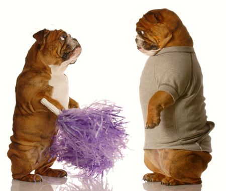 english bulldog dressed up as a cheerleader with pompoms getting checked out by another dog dressed up in a sweatsuit photo