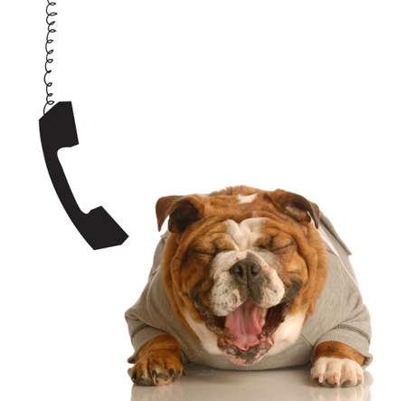 exitacion: Inglés bulldog riendo histéricamente con el teléfono colgando al lado de la oreja Foto de archivo