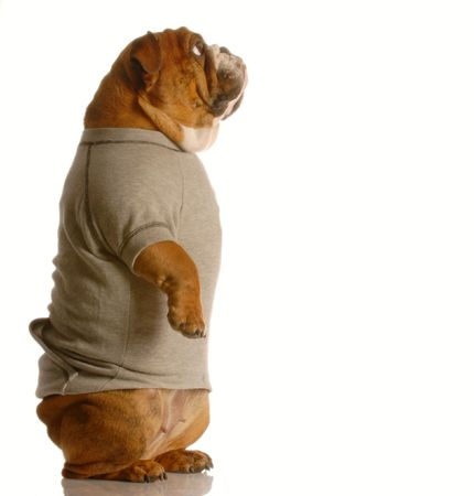 flannel: english bulldog standing up looking forward wearing grey flannel sweatsuit