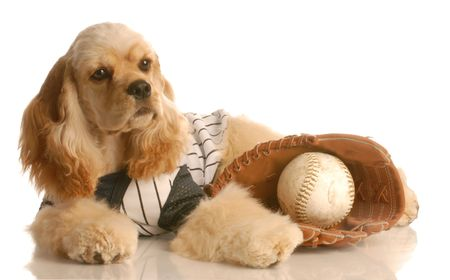 american cocker spaniel dressed up as baseball player with ball and glove isolated on white background Stock Photo - 3962019