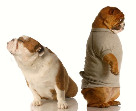 surly: one english bulldog standing with his back to the other who is sitting with her nose up - as though in an argument Stock Photo