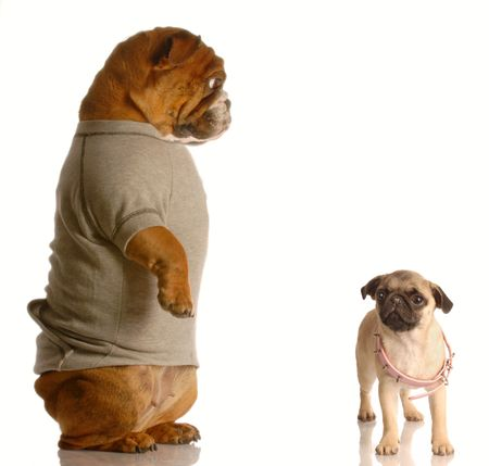 bulldog standing up looking down on small pug puppy with collar that is too large - concept of growth photo