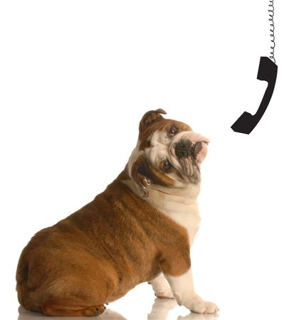 english bulldog with head tilted in huh position with phone receiver dangling beside her head - communication concept photo