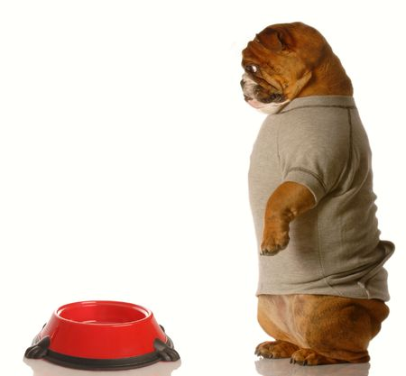 sweatsuit: english bulldog looking down at empty dog food dish